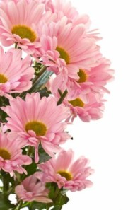 beautiful_chrysanthemum