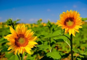 beautiful_sunflower_hd_picture_169107