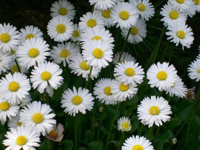 flower meanings  ida birch, Natural flower